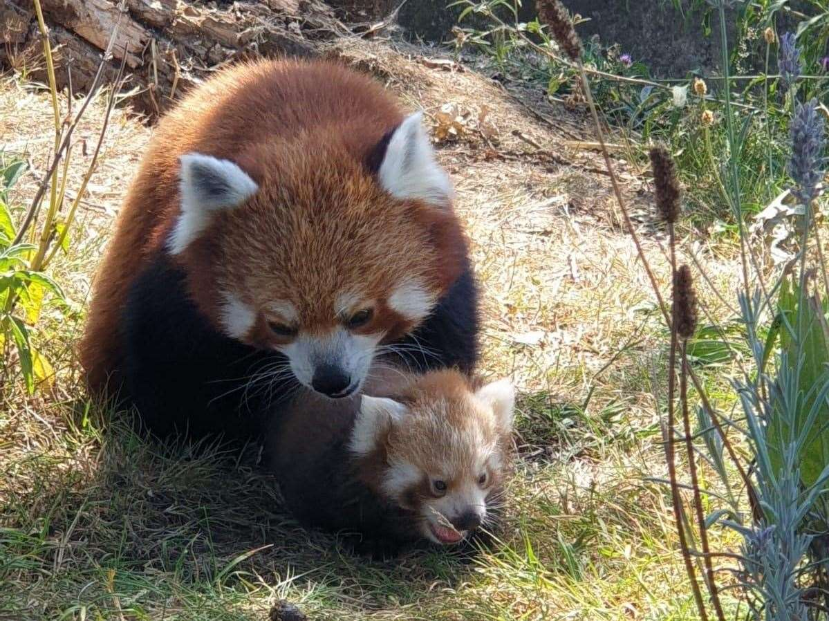 Tashi the red panda with her new cub (ZSL Whipsnade Zoo/PA)