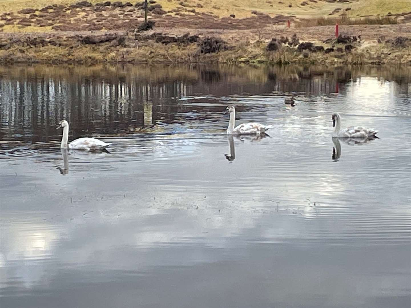 The three young swans at the Spey Valley course's lovely lochan.